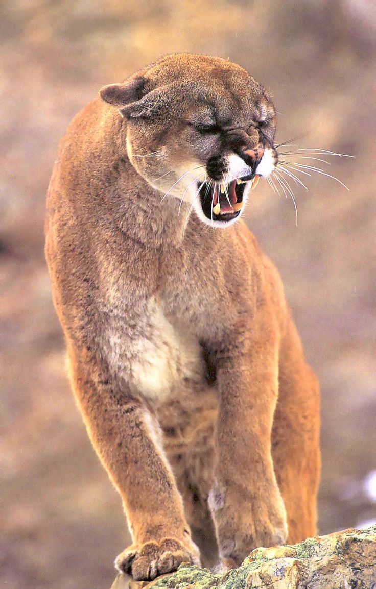 Offended Cougar